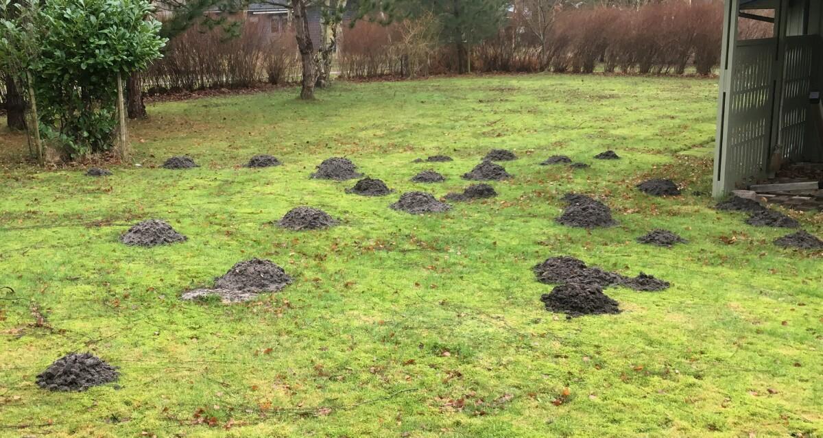 muldvarper i haven